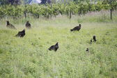 Turkey Vultures Socialize in Field — Stock Photo