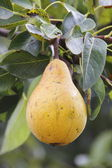 Pear on Branch — Stock Photo