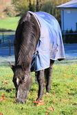 Black Horse with Comforter — Stock Photo