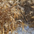Stock Photo: Winter Grass