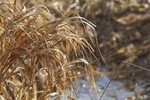 Winter Grass — Photo