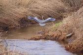 Heron Landing — Stock Photo