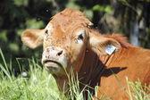 Une vache couvert de mouches — Photo
