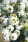 Close on Ripening Blueberry — Stock Photo