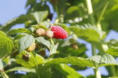 Ripening Raspberries — Stock Photo