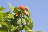 Raspberry and Sky — Stock Photo