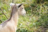 Baby Goat Grazing — Stockfoto
