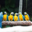 Blue-and-yellow Macaw bird. — Stock Photo #32127901