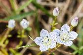 Edelweiss alpine flowers — Stock Photo