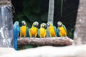 L'oiseau bleu et jaune ara. — Photo
