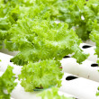 Hydroponic vegetable is planted in garden. — Stock Photo #32136931