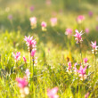Pink field of Siam tulip — Stock Photo #32147301
