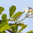 Branch of tropical flowers frangipani (plumeria) — Stock Photo #32151819
