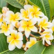 Branch of tropical flowers frangipani (plumeria), Thailand — Stock Photo