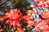 Red maple leaf during fall — Stock Photo