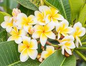 Branch of tropical flowers frangipani (plumeria), Thailand — Stock Photo