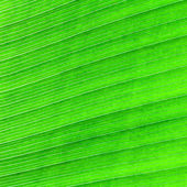 Abstract of banana leaf background — Stock Photo