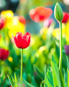 Red tulips backlit by late afternoon sun — Stock Photo