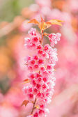 Fiore rosa sakura — Foto Stock