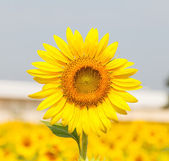 Beautiful yellow sunflower — Stock Photo