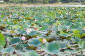 Pole lilie wodne — Zdjęcie stockowe