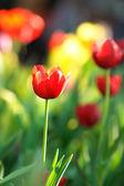 Tulipe rouge en Thaïlande — Photo