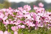 Pembe çiçek çiçek — Stok fotoğraf