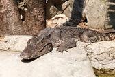 The Crocodile — Stock Photo