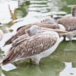 Brown pelican, pelecanus occidentalis — Stock Photo