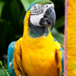 Blue-and-yellow Macaw bird. — Stock Photo #32195337