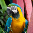Blue-and-yellow Macaw bird. — Stock Photo #32196259