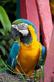 The Blue-and-yellow Macaw bird. — Stock Photo