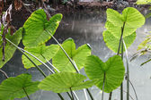 Caladium leave in rain forest — Stok fotoğraf