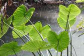 Kaladium zostawić w lasach tropikalnych — Zdjęcie stockowe