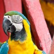 Blue-and-yellow Macaw bird. — Stock Photo #32203349