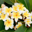 Stock Photo: Branch of tropical flowers frangipani (plumeria), Thailand