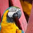 The Blue-and-yellow Macaw bird. — Photo