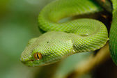 Green snake in rain forest, Thailand — Stock Photo
