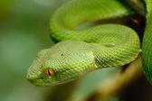 Serpiente verde en la selva, Tailandia — Foto de Stock