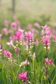 Pink field of Siam tulip — Stock Photo
