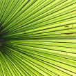 Palm leaf backlit with sunlight — Stock Photo #32212261