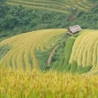 Stock Photo: Rice terraces and cottage in the mountains