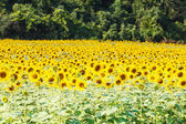 Detail of a field with many sunflowers in sunlight with shallow — Stock Photo
