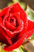 Close up of dark red rose with water droplets — Stock Photo