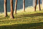 Natural Spruce Woodland — Stock Photo