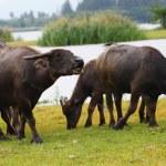 Thai buffalo in grass field near Bangkok, Thailand. — Stock Photo #32422269
