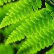Fresh spring green fern leaves  — Stock Photo