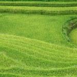Rice fields in Sapa, Vietnam. — Stock Photo
