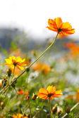 Blossom yellow flower — Stock Photo