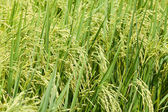 Green paddy rice in field. — Stock Photo